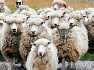 https://lamatrixholografica.files.wordpress.com/2012/02/sheepclothing.jpg?w=300
